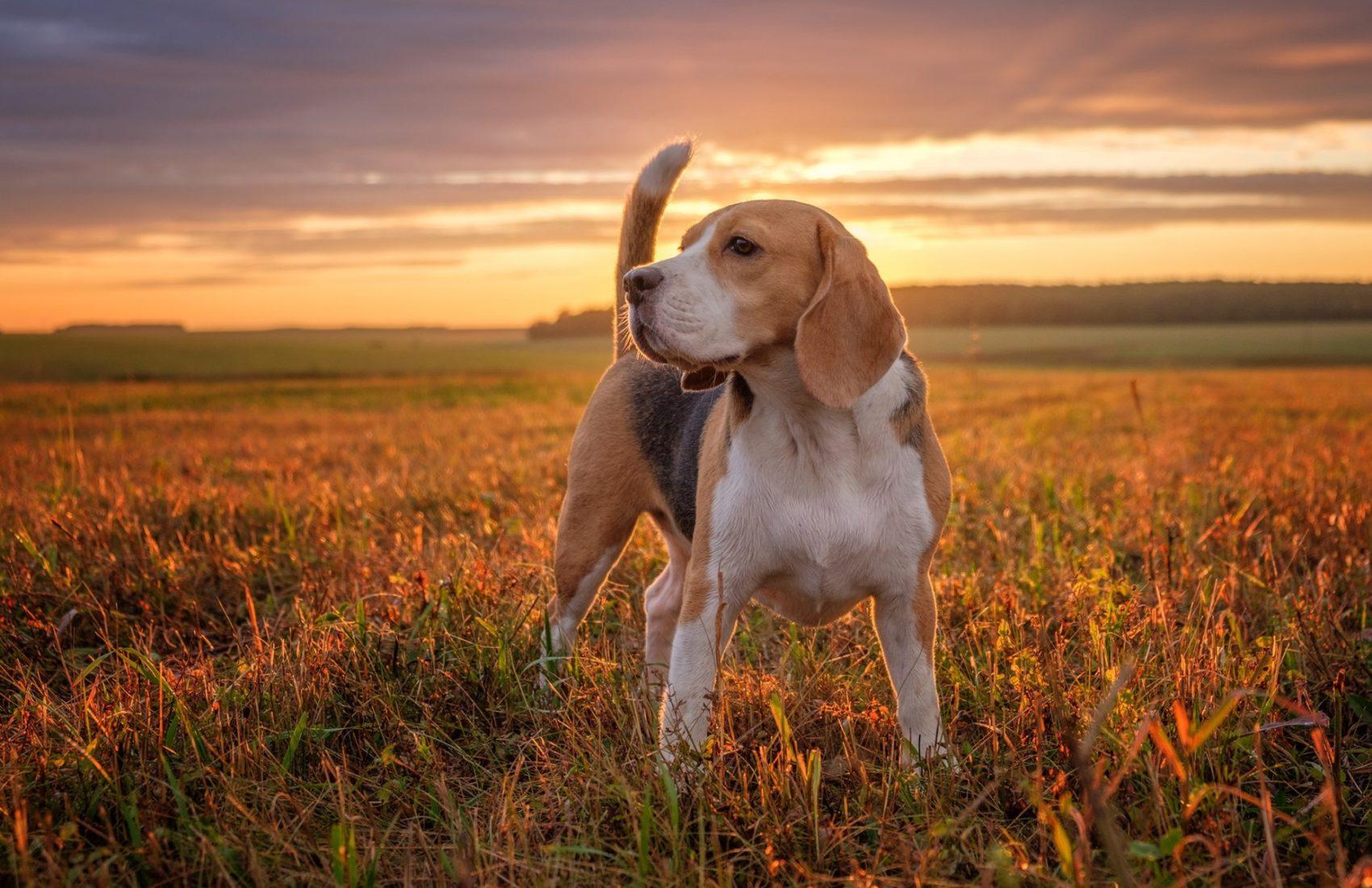 Beagle-dog-grass-sunset_1920x1200